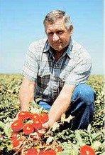 >Выращивание помидор по Маслову