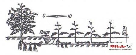 Выращивание помидор по Маслову