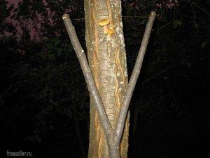 Простое приспособление для сбора опят с высоких деревьев